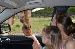 Hand-feeding a real giraffe!